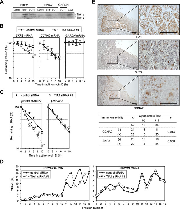 Differing effects of TIA1 on the SKP2 and CCNA2 genes in ESCC cells.