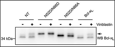 Monodeamidated Asp52Bcl-xL can be phosphorylated in response to anti-neoplasic agents.