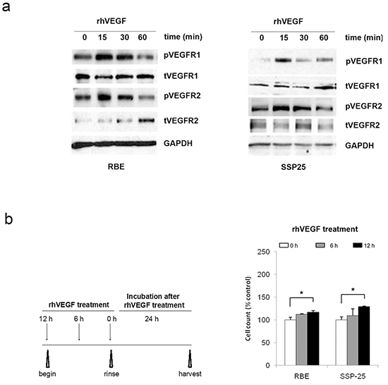VEGF signaling promoted cell growth in RBE and SSP25 cells.