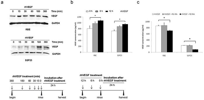 Autocrine VEGF signaling in ICC cells.