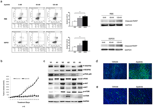 Apatinib suppressed anti-apoptotic cell growth in ICC cells.