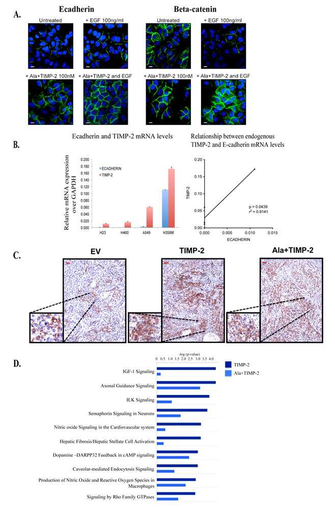 Figure3: Exogenous treatment with Ala+TIMP-2, TIMP-2 expression in NCSLC and transcriptional analysis of tumor xenografts.