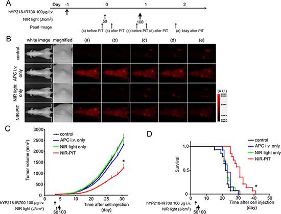 In vivo effect of NIR-PIT for A431/H9 tumor.