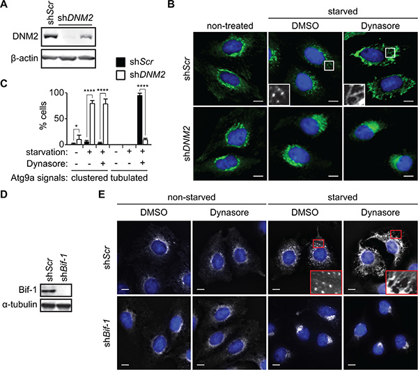 DNM2 is required for Atg9 vesicle generation induced upon nutrient starvation.