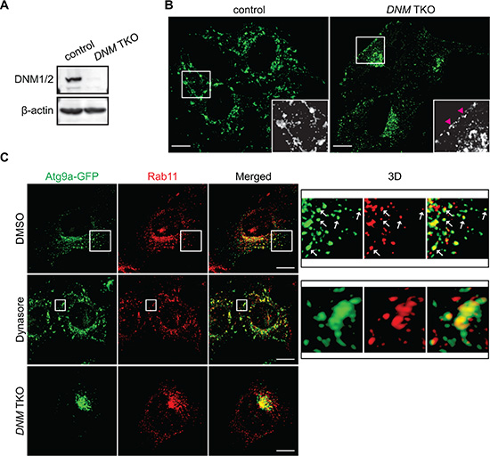 The DNM-mediated membrane fission machinery regulates Atg9 vesicle generation at the Rab11-positive compartments.