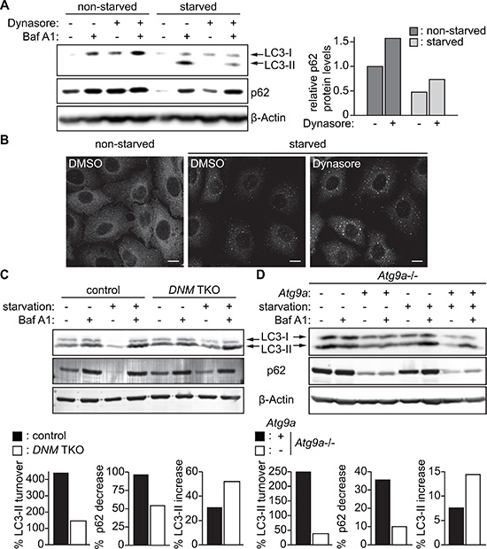 Impairment of the DNM-mediated Atg9 vesicle generation process inhibits autophagy.