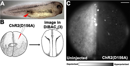 Optogenetic modulation of Vmem to control ITLSs is achieved using a KRASG12D oncogene and light-sensitive ion channels in Xenopus laevis embryos.