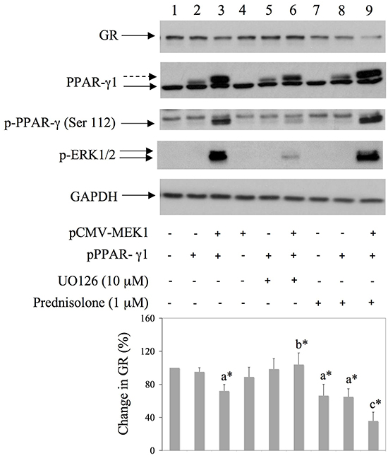 Co-transfection of MEK1 and PPAR-γ down regulates GR expression in HEK293 cells.