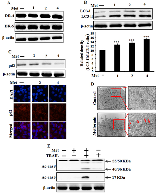 Metformin induces autophagy flux and enhanced apoptosis mediated by TRAIL.