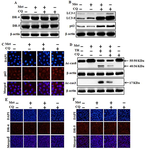 Autophagy inhibitor blocks TRAIL mediated tumor cell death by metformin via regulating autophagy flux.