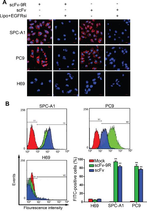 scFv-9R can internalize into EGFR-positive NSCLC cells.