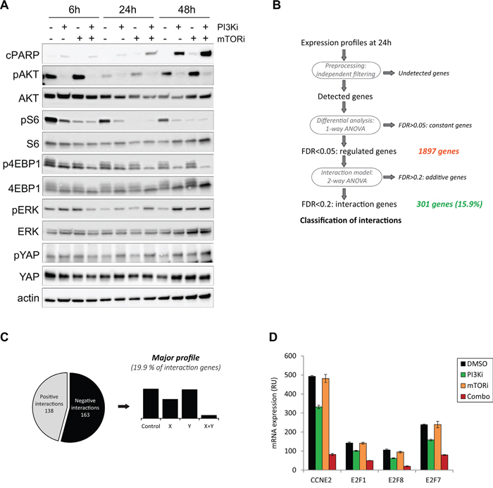Mechanistic studies for the PI3K and mTOR inhibitor combination in the Mel202 cell line.