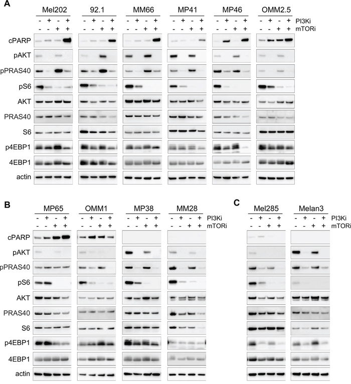Molecular analyses for the PI3K and mTOR inhibitor combination in all cell lines.