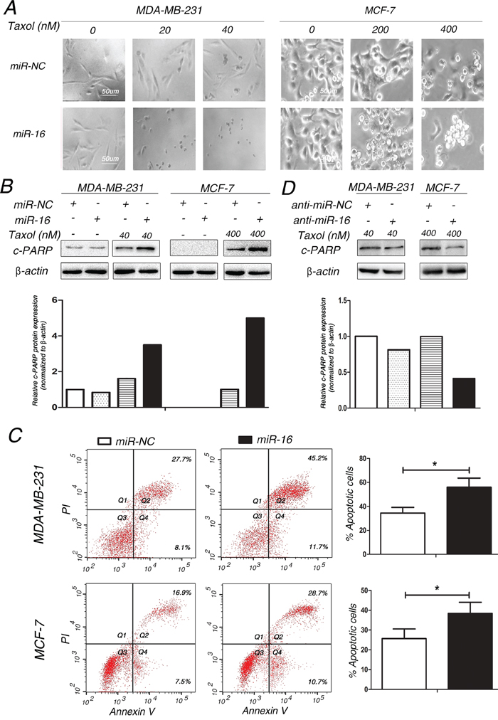 Involvement of miR-16 in Taxol-induced apoptosis in breast cancer cells.