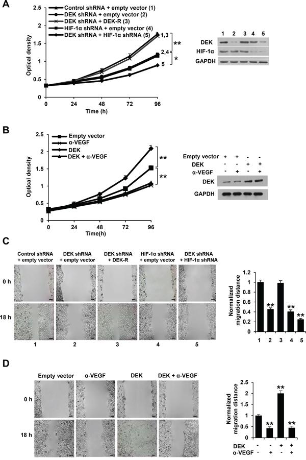Cancer cell-secreted VEGF modulated by DEK regulates HUVEC proliferation and migration.
