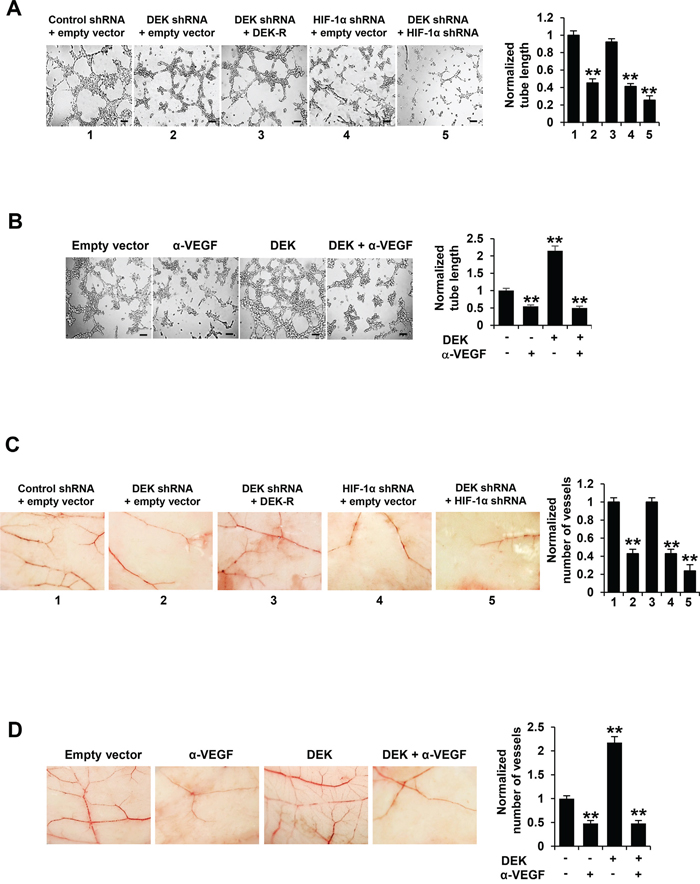 Cancer cell-secreted VEGF modulated by DEK regulates HUVEC tube formation and angiogenesis.