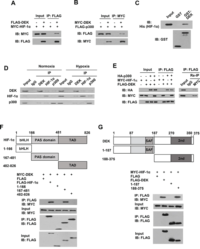 DEK, HIF-1α and p300 form a complex in vivo.
