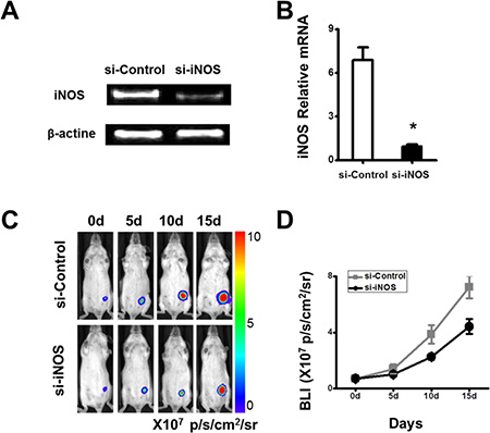 The growth of the tumor favored by the cMSCs in vivo can be inhibited by iNOS siRNA.