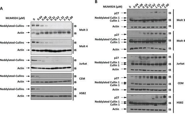 MLN4924 dose-dependently reduces the neddylation of Cullins in T-ALL cells.