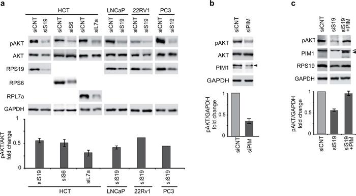 Phosphorylation of AKT at Ser473.