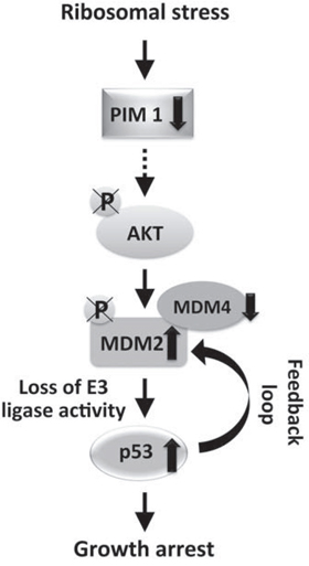 Schematic of the signaling pathway activated by ribosomal stress.
