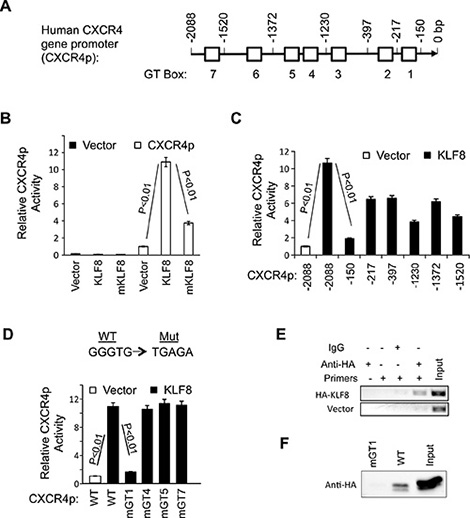 KLF8 upregulates CXCR4 at the level of transcription.