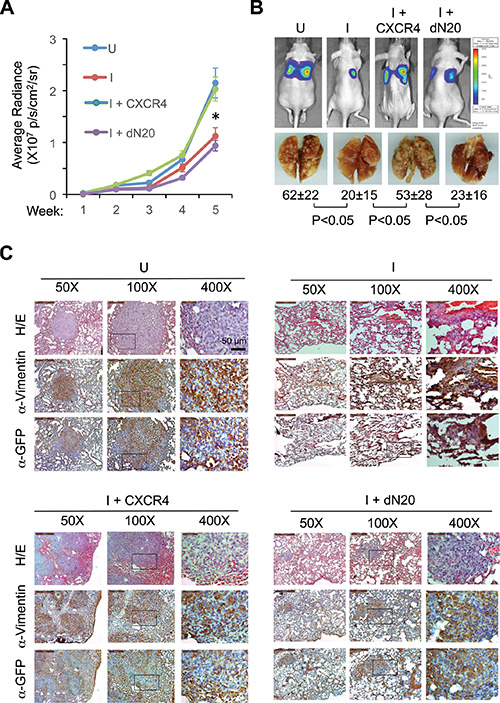 KLF8 activation of CXCR4/CXCL12 signaling is required for lung metastasis.