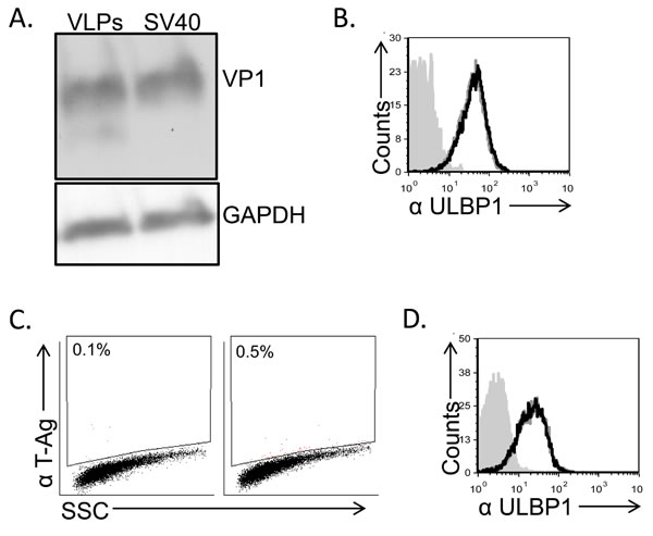 Down regulation of ULBP1 is not mediated by the viral capsid components.