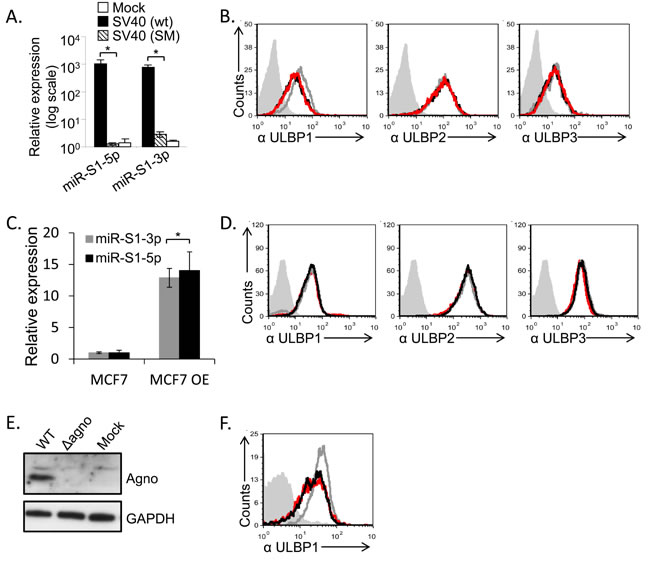 SV40 miRNAs and agnoprotein do not mediate the ULBP1 downregulation.