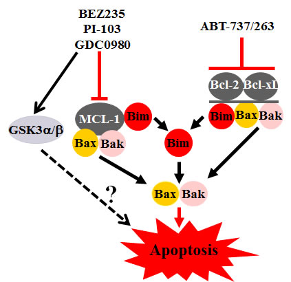 Model of interactions between PI3K/AKT/mTOR pathway inhibitors and Bcl-2 antagonists.