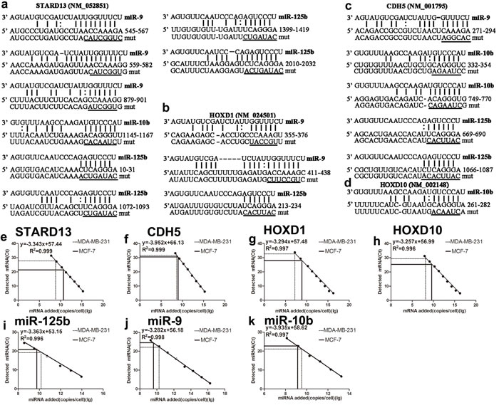 Prediction of STARD13 ceRNAs candidates and absolute miRNA and ceRNAs quantification in MCF-7 and MDA-MB-231 cells.