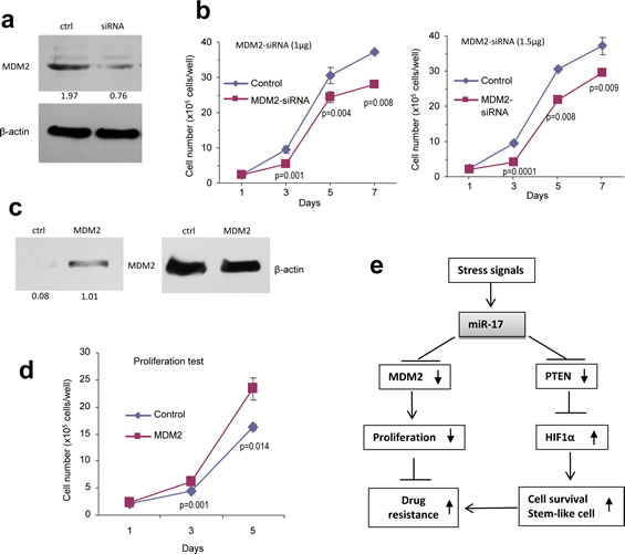 Confirmation of miR-17 functions by silencing and rescue assays.