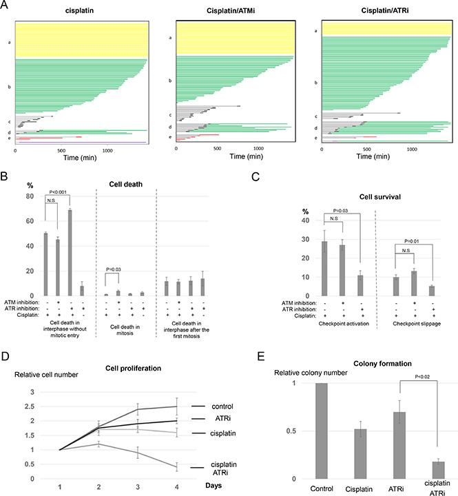 Inhibition of ATR, but not ATM, sensitizes cisplatin treatment.