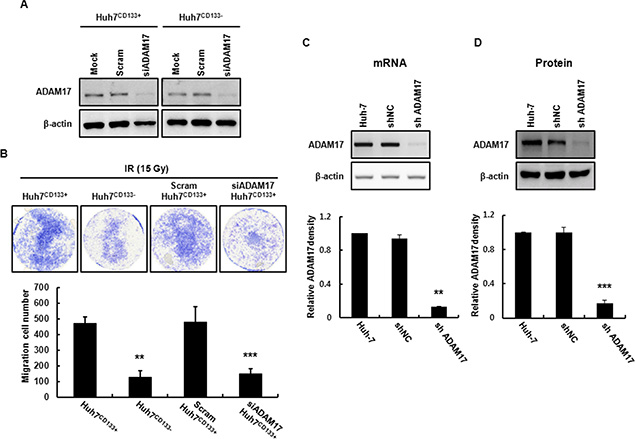Establishment of an ADAM17-knockdown cell line using a lentiviral expression system.