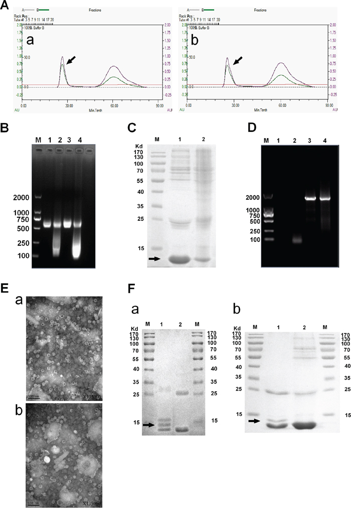 Identification of MS2 VLPs and GE11-VLPs.