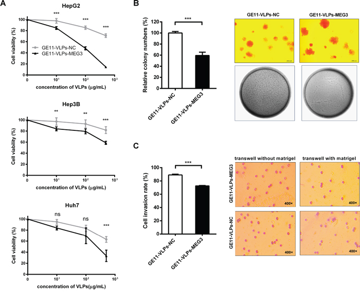MEG3 suppresses cell proliferation, colony formation and cell invasion.