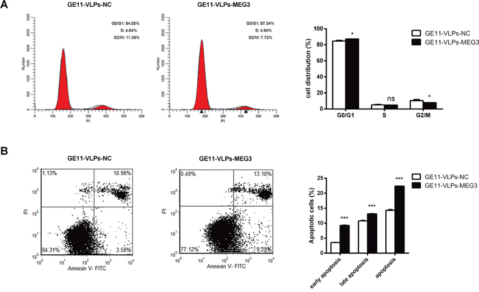 MEG3 arrests cell cycle and promotes cell apoptosis.