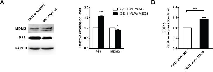 MEG3 increases p53 activation.