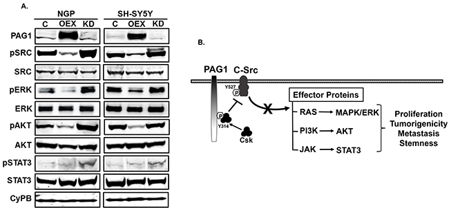 PAG1 inhibits c-Src and downstream effector proteins.