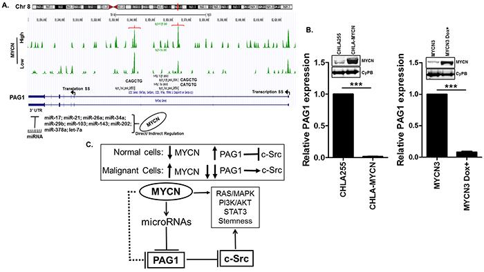 Transcriptional regulation of PAG1 in neuroblastoma.