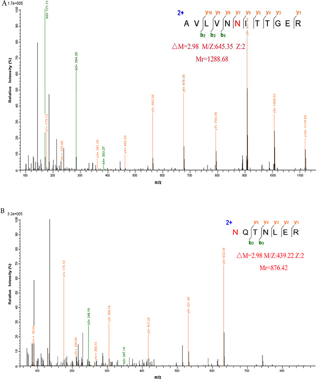 Representative MS/MS spectrum of the peptide AVLVNN109ITTGER (A) and N144QTNLER (B) of GP73, identified in H218O.