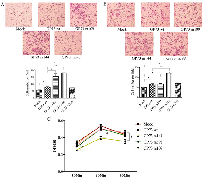 Compared with control group, GP73 m109 and m144 improved cell motility (A) and GP73 m144 enhanced the invasiveness (B) and inhibited adhesion (C).