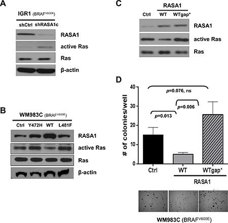 RASA1 functions as a tumor suppressor via its effects on Ras.