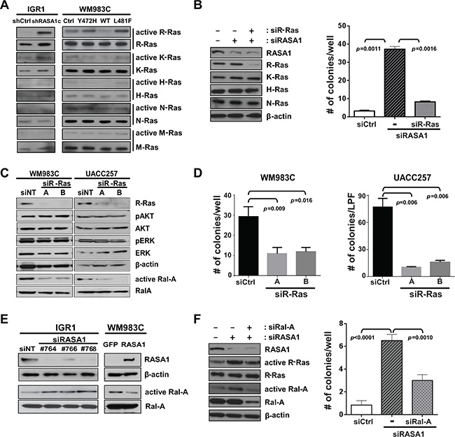 RASA1 suppresses activation of R-Ras and Ral-A.