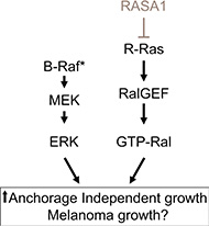 Model showing the putative cooperation of BRAF/MEK/ERK and RASA1/R-Ras/Ral-A pathways.
