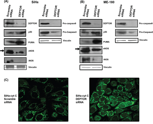 DEPTOR silencing up-regulates p53 and PUMA, down-regulates NOS enzymes and induce caspase dependent apoptosis.