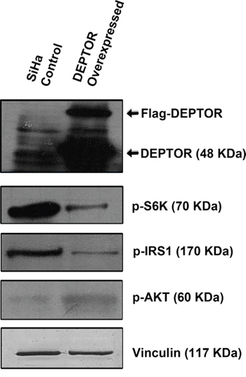 DEPTOR overexpression activates PI3K/AKT by relieving negative feed-back inhibition from S6K.