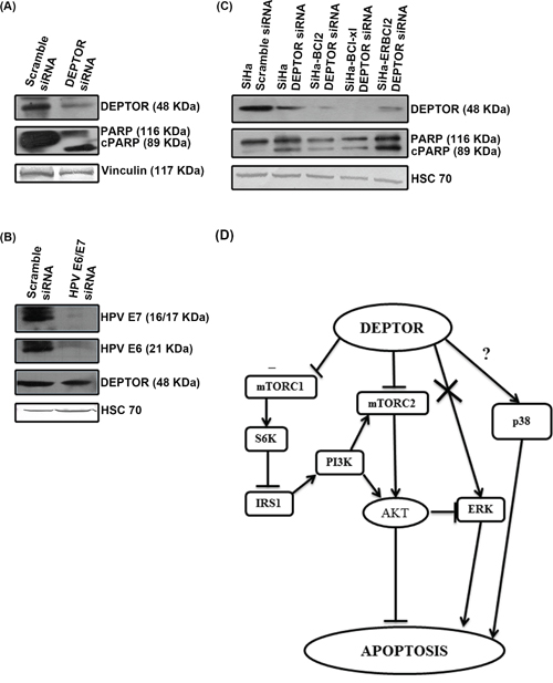 DEPTOR expression is independent of HPV oncoproteins E6/E7 and DEPTOR silencing can bypass anti-apoptotic effect of Bcl2 and Bcl-xL.