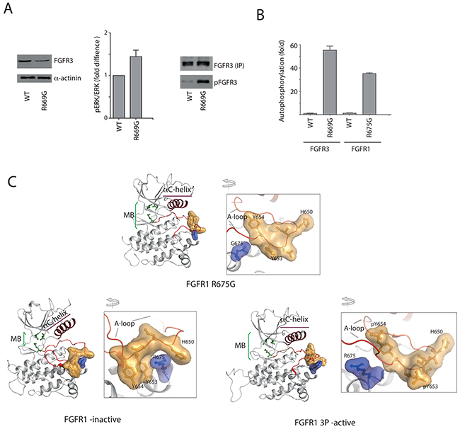 Impact of R669G substitution on function of FGFR3 in a cellular setting and on FGFR KD structure.