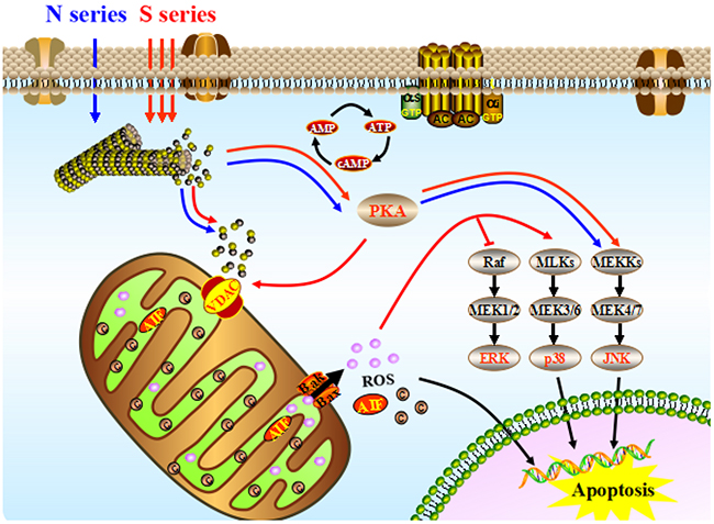 The integrated apoptotic pathways, a schematic diagram showing some of the known components of the intrinsic and the death receptor apoptotic programs and the mitochondrial apoptotic pathways.